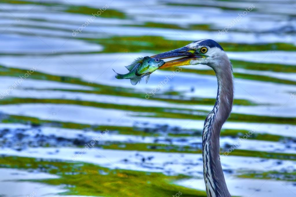Great Blue Heron catches a Bluegill in High Dynamic Range