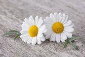 Fotografia fiore di camomilla