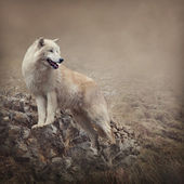 Fehér Farkas