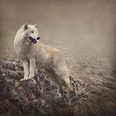 Fotografie Bílý vlk