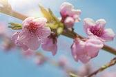 Peach blossom virág