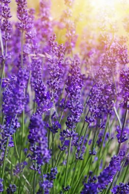 Garden lavender flowers