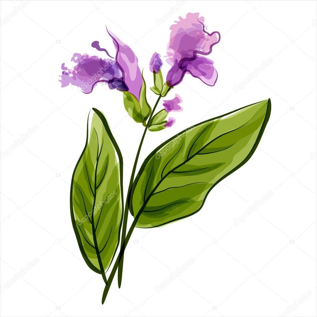 Salvia. Sage. Vector illustration