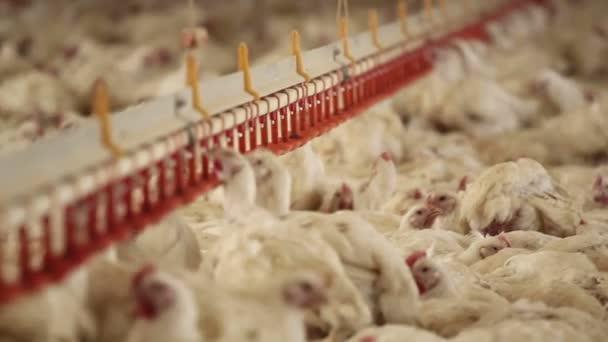 Chicken farm. montage