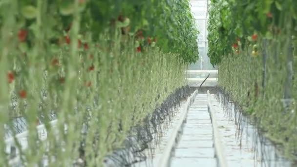 skleníku. sestřih
