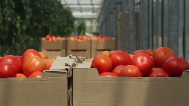 rajčata v kontejnerech