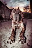 Portrét velkého psa
