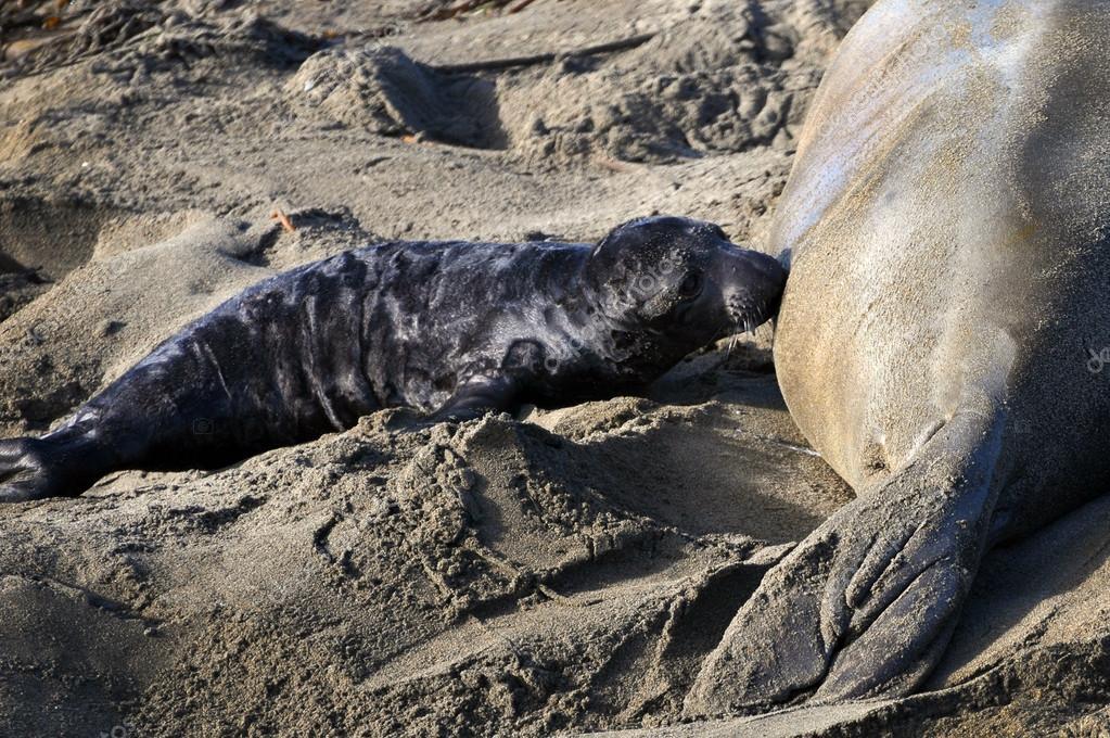 Female Elephant Seal nursing her pup