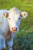 Ritratto di bella mucca marrone in un campo