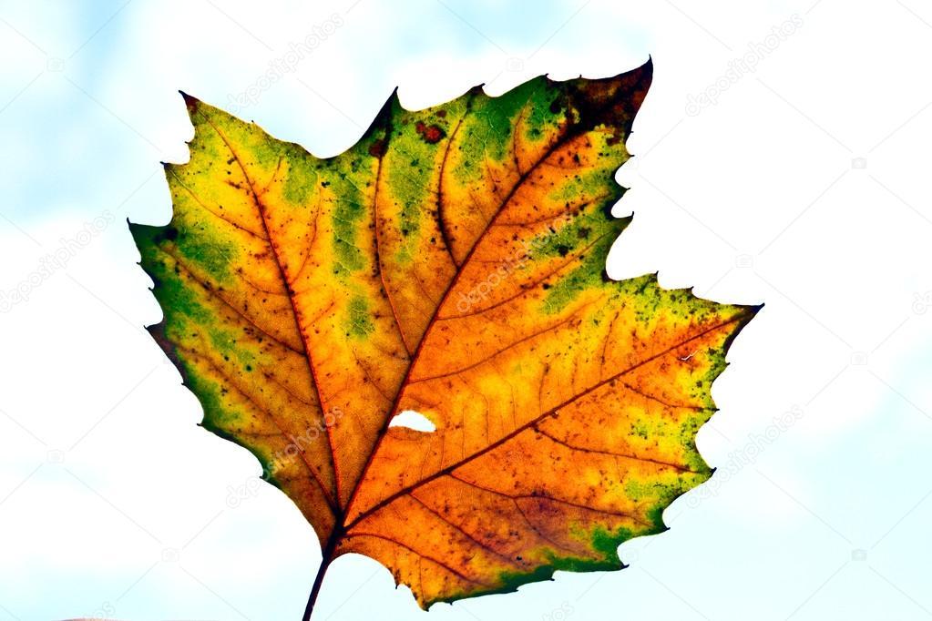 hermosas hojas en color de otoño, verano indio — Foto de stock ...