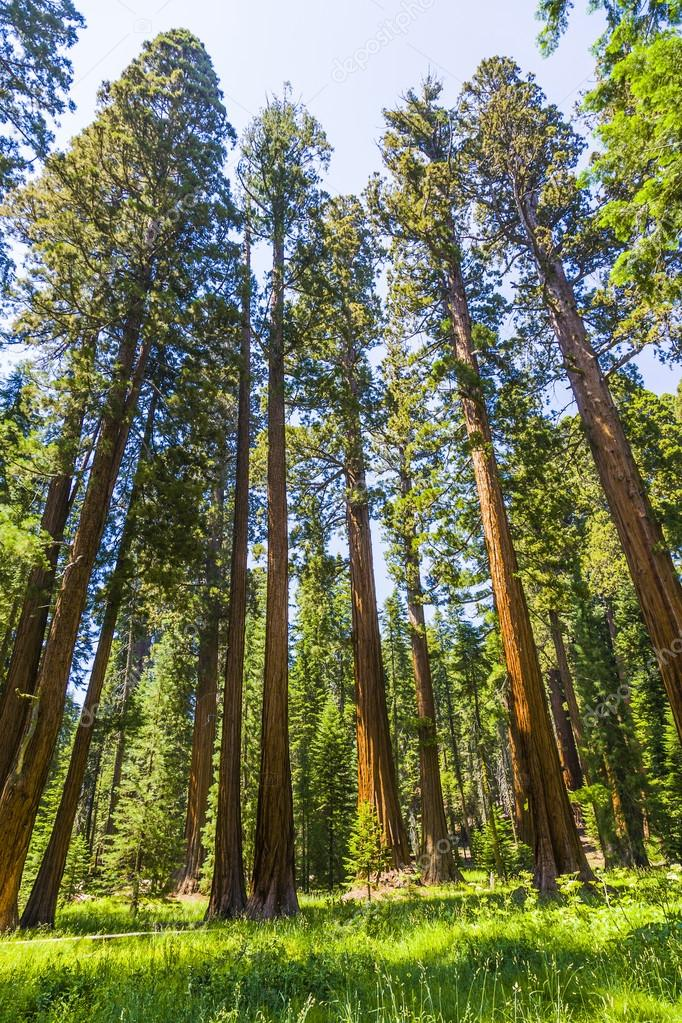big sequoia trees in Sequoia National Park near Giant village ar