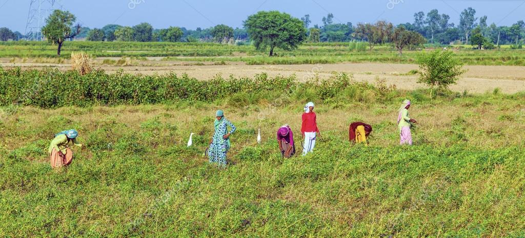 woman cut the meadow and corn on October 22,2012 near Mandawa, India.