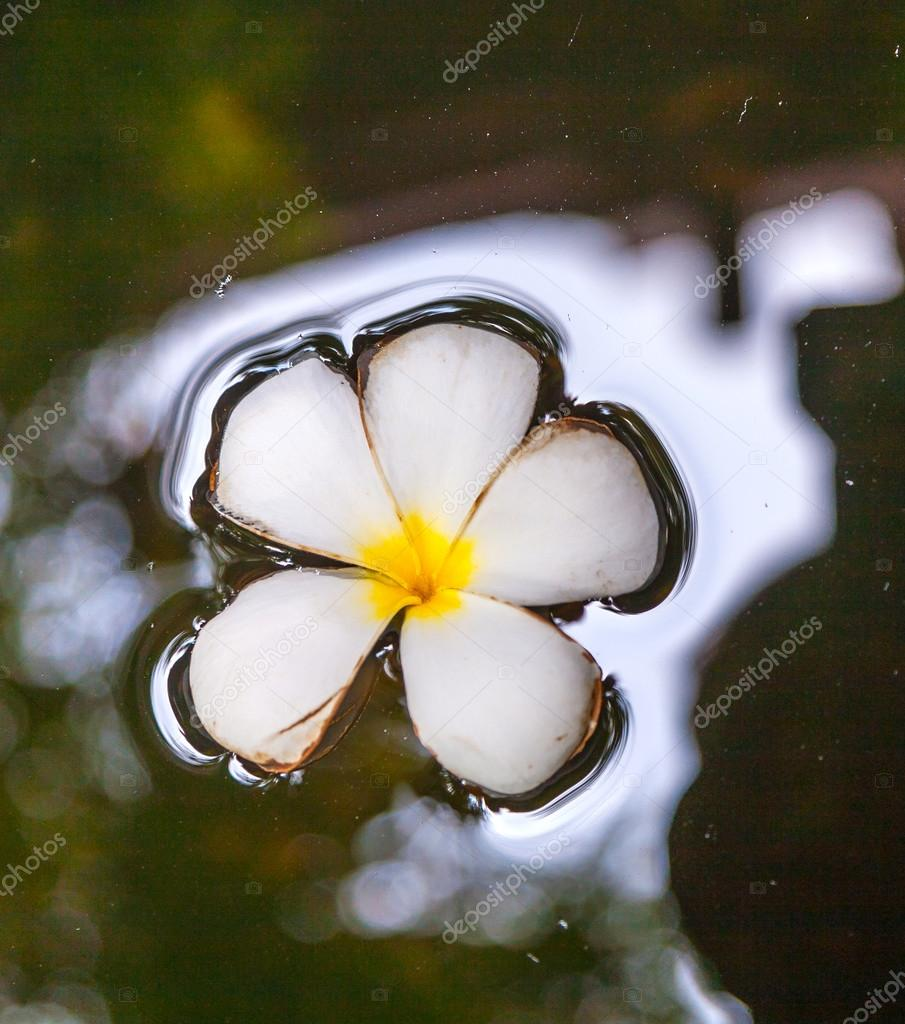 Plumeria flower floating in the water