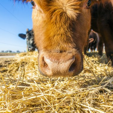 cattle on straw with blue sky