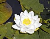 Fotografie weißer Lotus Seerose in See
