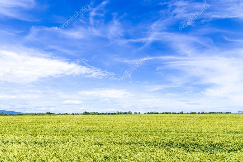 corn field in spring with blue sky