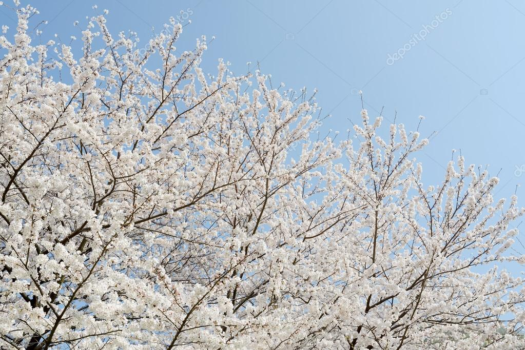 Springtime cherry tree
