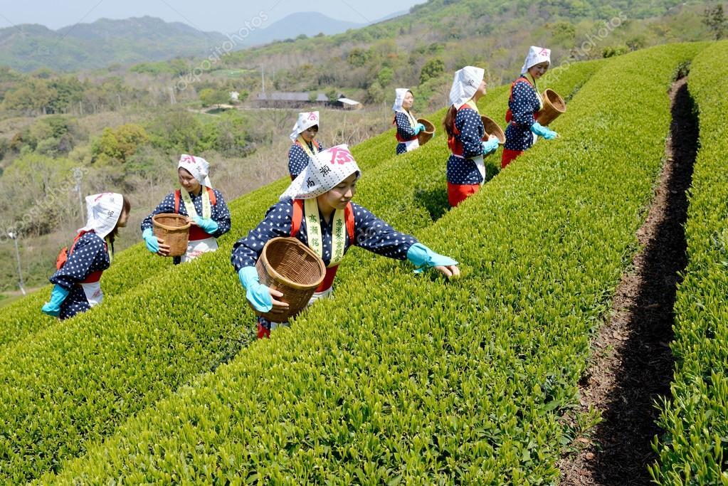 Japanese women harvesting tea leaves