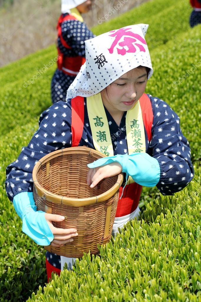 Japanese woman harvesting tea leaves