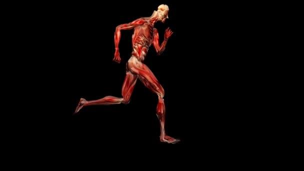 sagoma muscolatura in esecuzione, loop, canale alfa