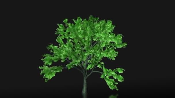 木の成長と立ち下がり、アルファの葉