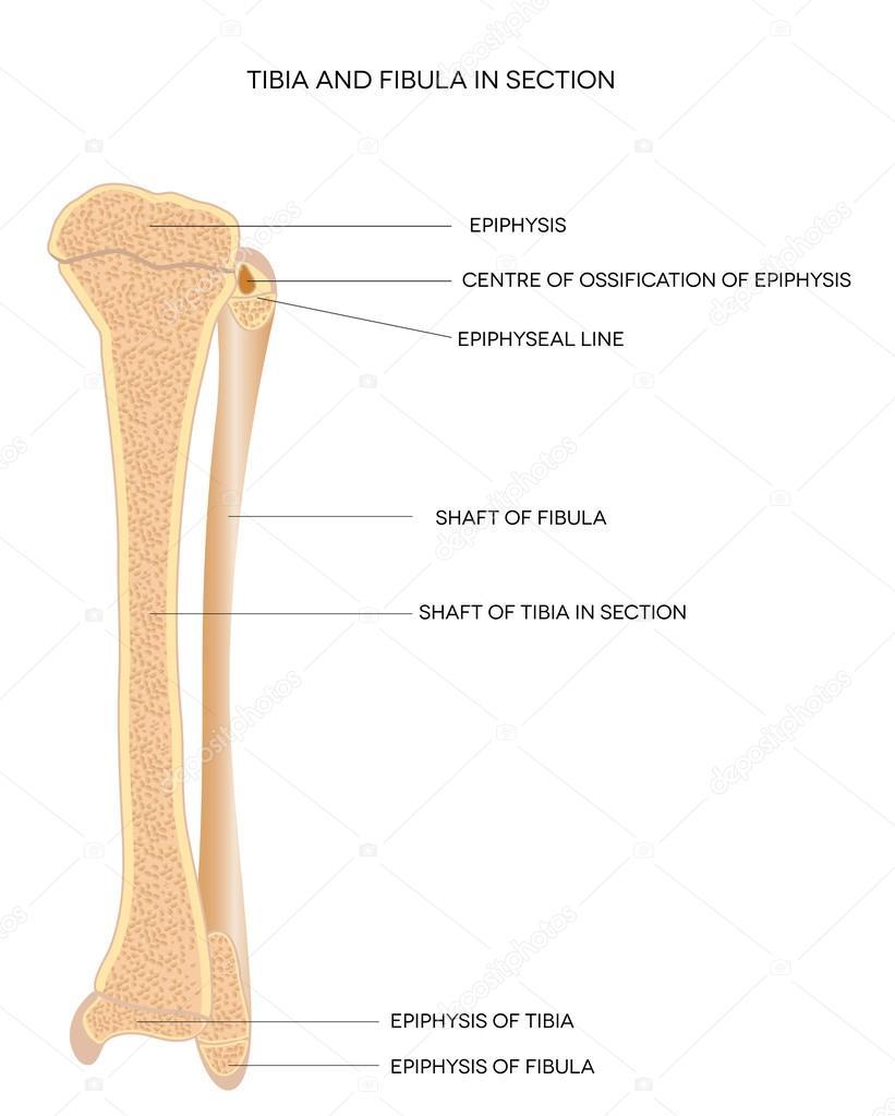 tibia y peroné. huesos de la pierna — Archivo Imágenes Vectoriales ...