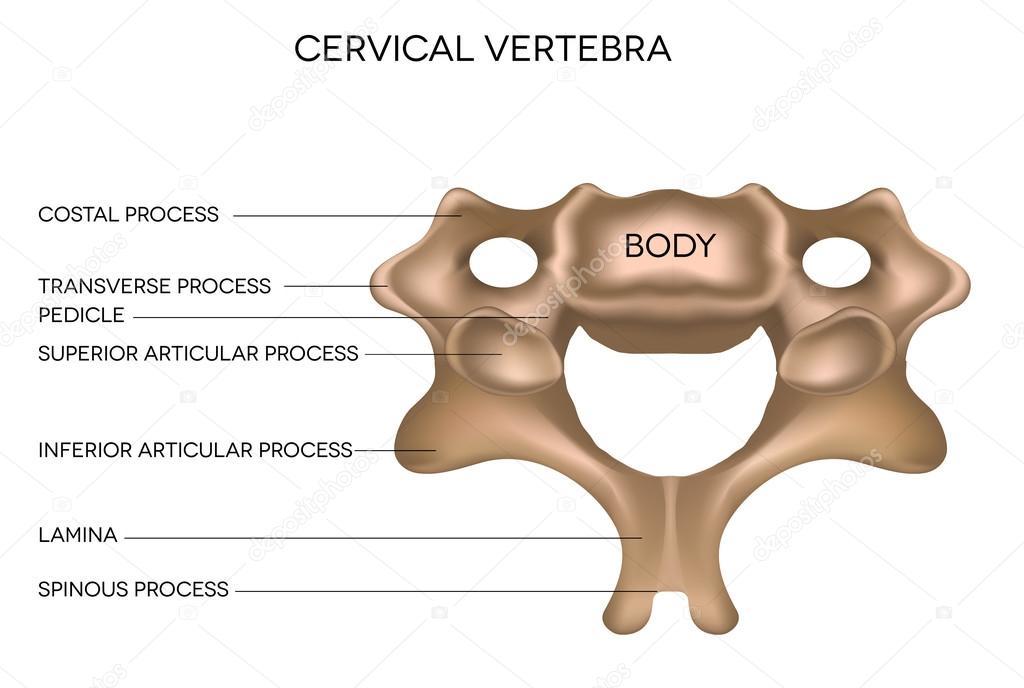 Cervical Vertebra — Stock Vector © megija #23746509