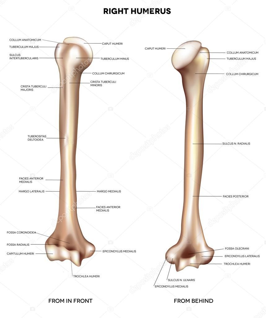 Atemberaubend Armknochen Fotos - Menschliche Anatomie Bilder ...