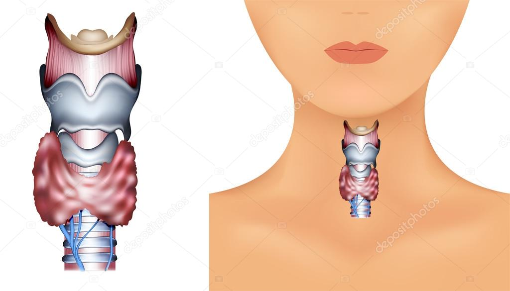 Anatomy of Thyroid gland — Stock Vector © megija #24820553