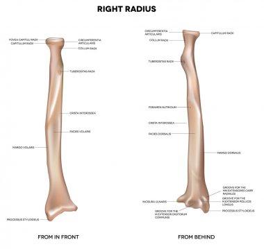 Human right radius, bone
