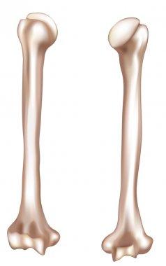Human arm bone- humerus
