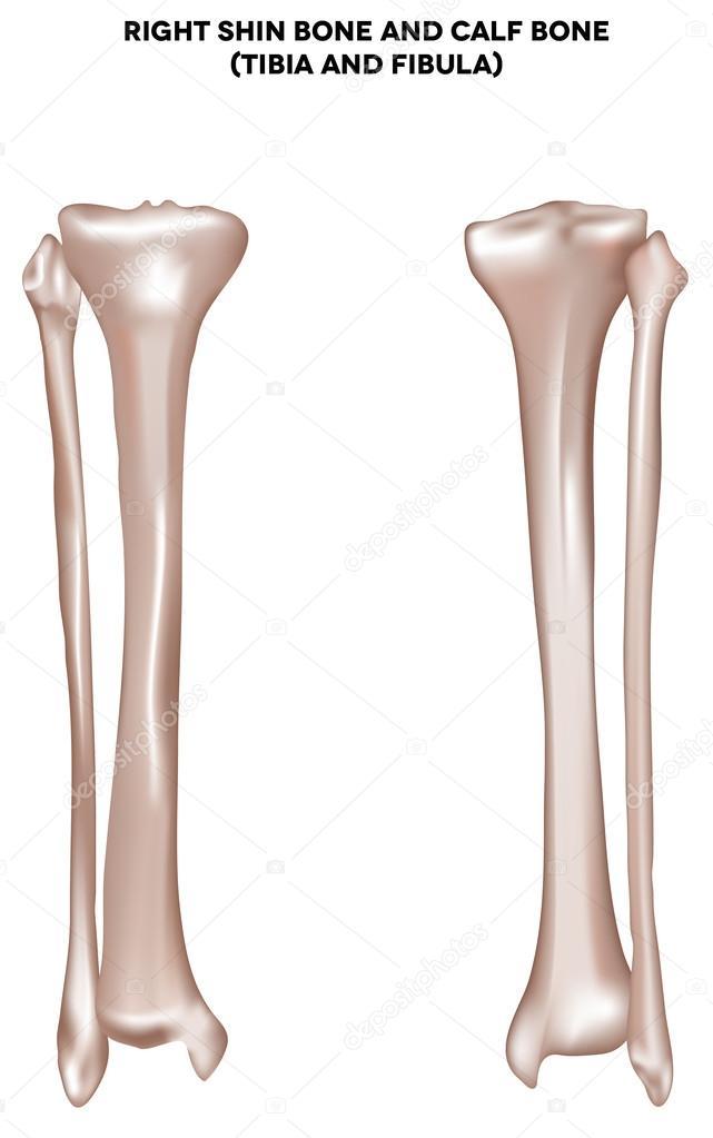 Shin Bone And Calf Bone Tibia And Fibula Stock Vector Megija