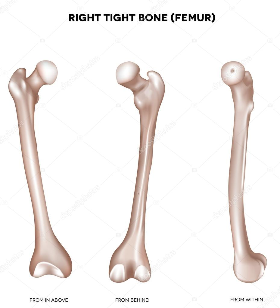 enge Knochen-Oberschenkelknochen — Stockvektor © megija #27712807