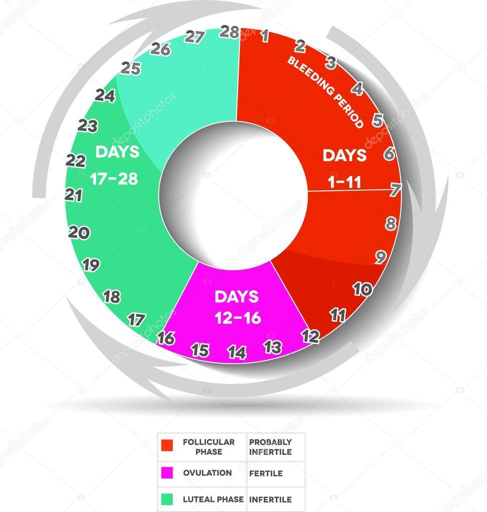 menstrual cycle pie chart: Female menstrual calendar stock vector megija 33585735