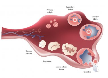 Female Ovary. Showing ovulation step by step.