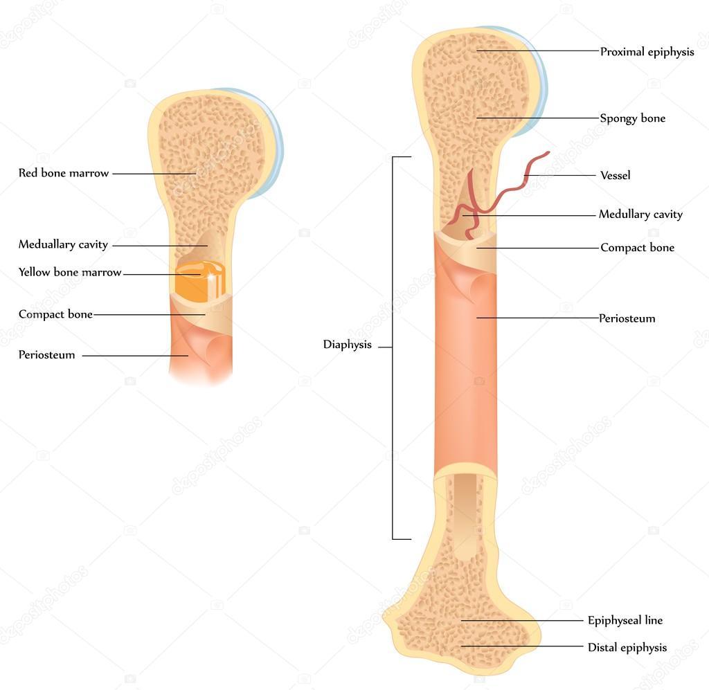 menselijke botten anatomie — Stockvector © megija #36716989