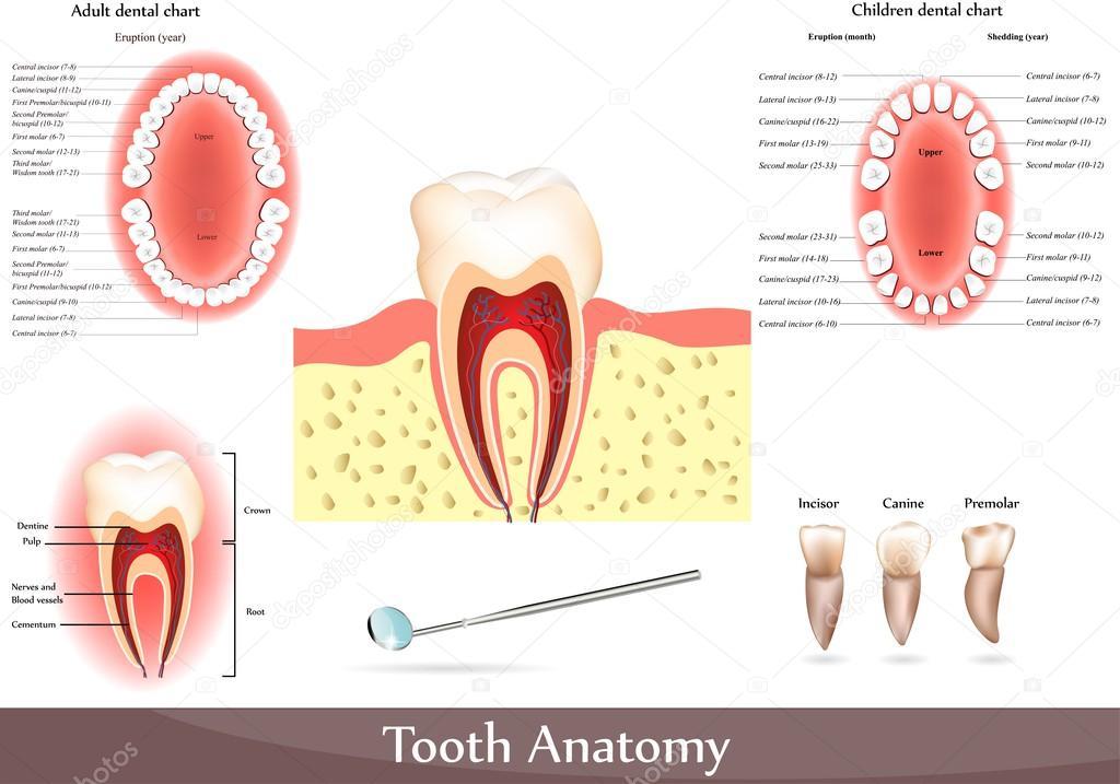 gran colección de la anatomía del diente — Archivo Imágenes ...