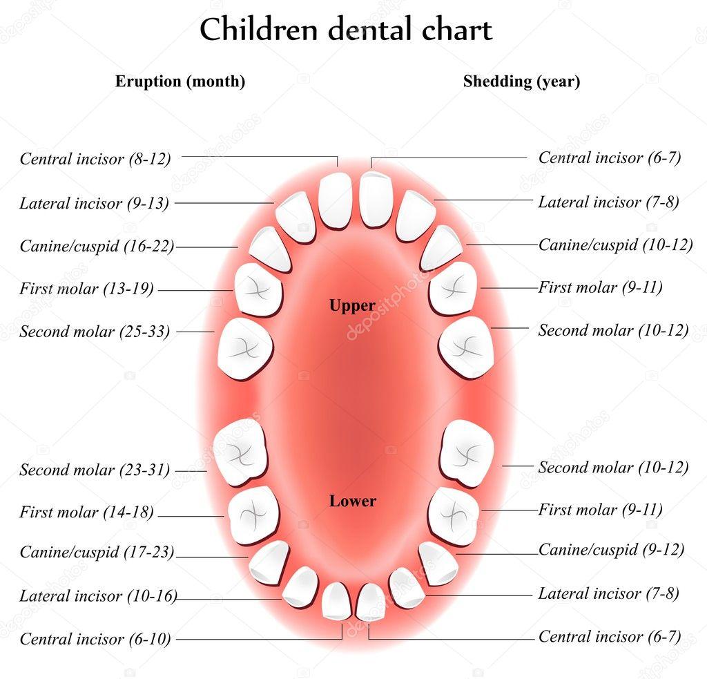 Anatomía de los dientes de los niños — Vector de stock © megija ...