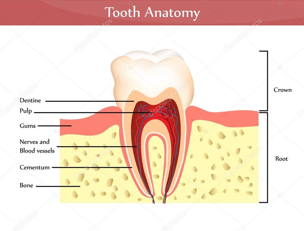 Zahn-Anatomie — Stockvektor © megija #36717673