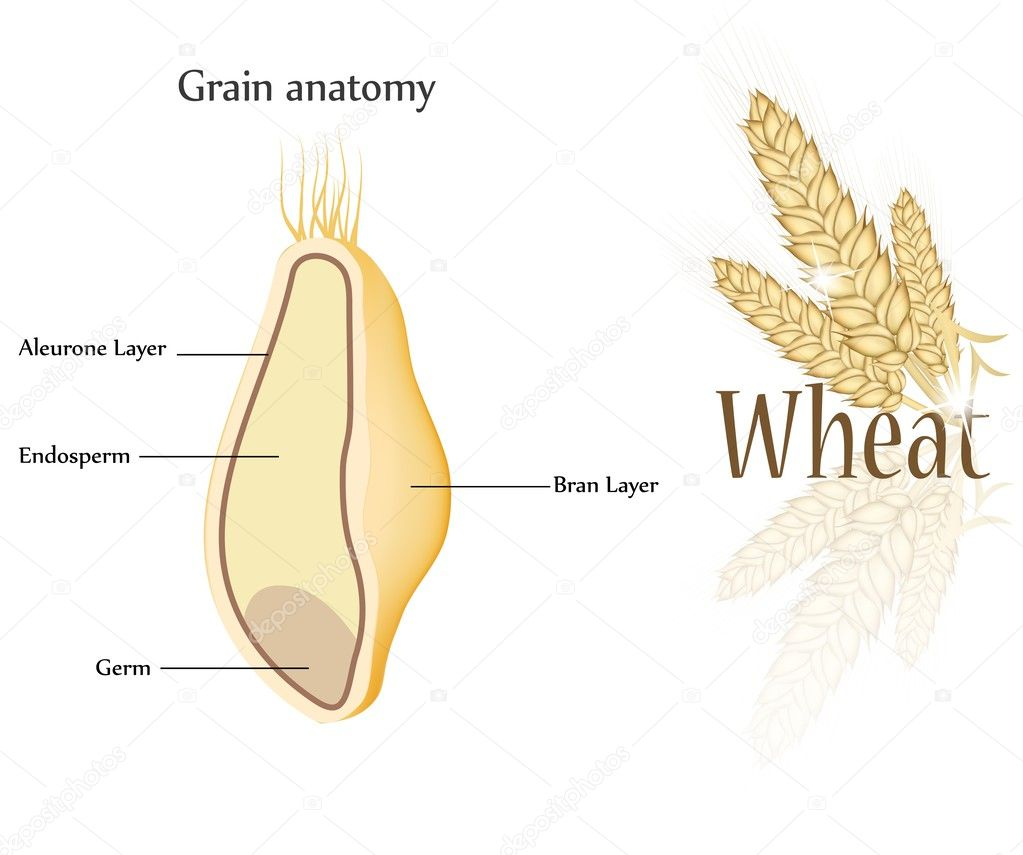 Enchanting anatomy of grain pictures anatomy and physiology tissue wheat and grain anatomy stock vector megija 36717721 ccuart Gallery