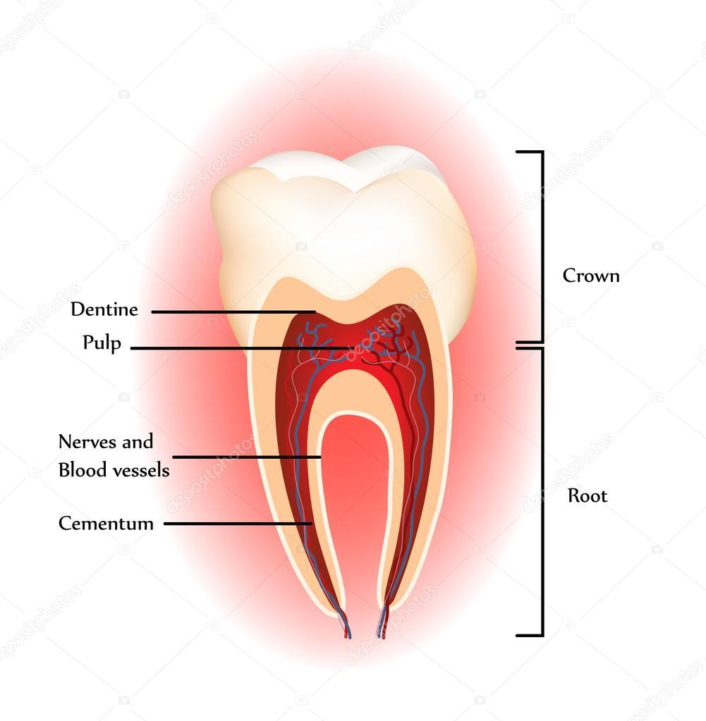 Tooth anatomy. — Stock Vector © megija #36718917