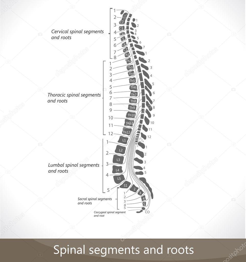 raíces y segmentos de la columna vertebral — Vector de stock ...