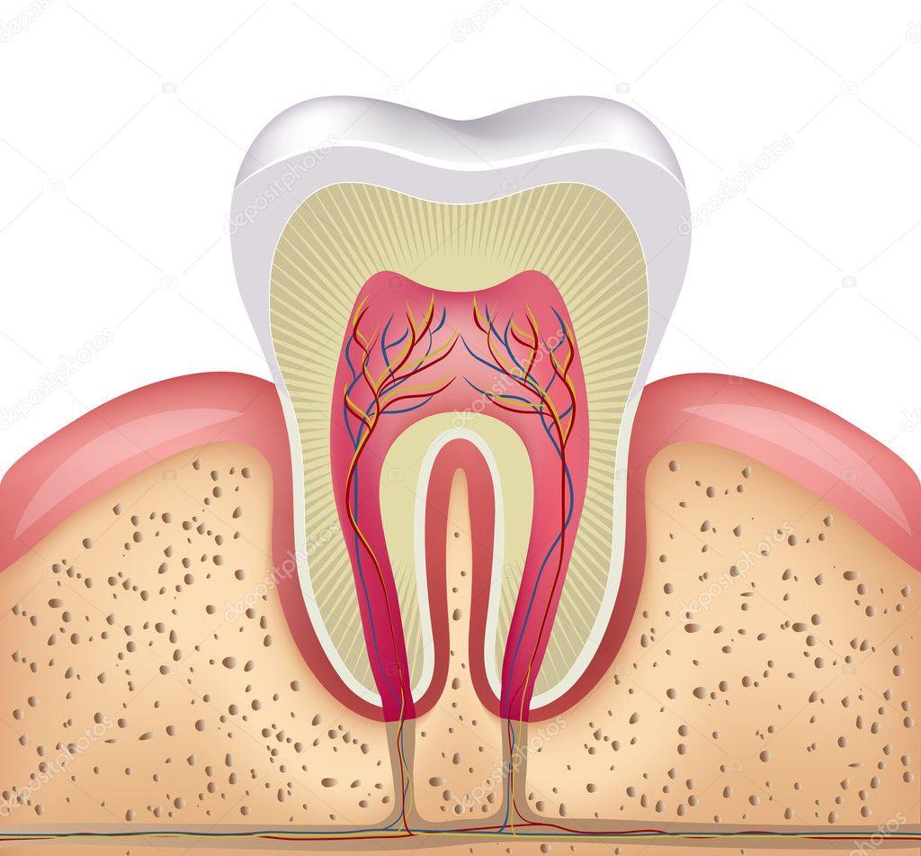 gesunde weiße Zähne, Zahnfleisch und Knochen-Abbildung — Stockvektor ...