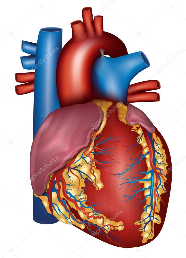 Human Heart Detaillierte Anatomie Bunte Design Stockvektor
