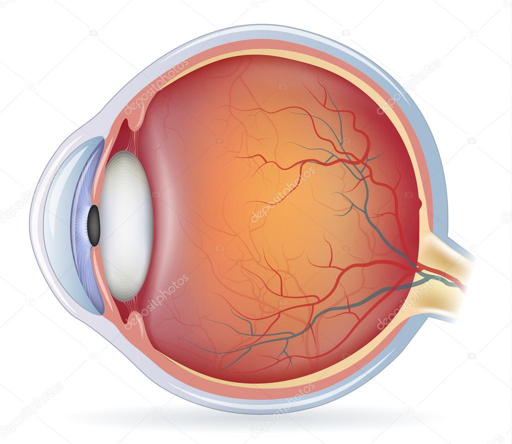 Anatomía del ojo humano — Archivo Imágenes Vectoriales © megija ...