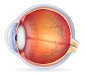 Detailed human eye anatomical illustration
