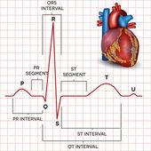 ritmo sinusale normale cuore umano e dellanatomia del cuore