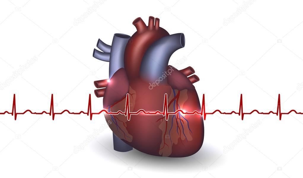 Herz-Anatomie und kardiogramm auf weißem Hintergrund — Stockvektor ...