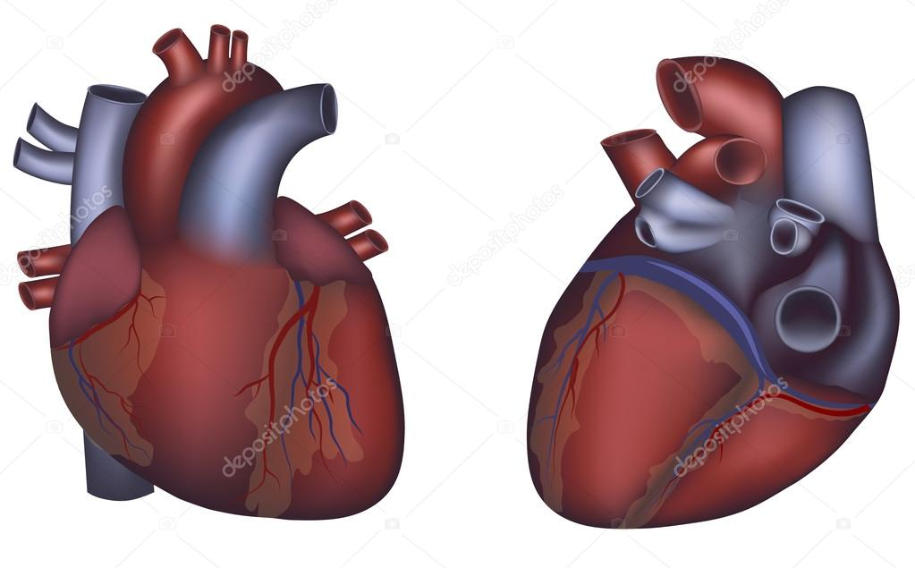 Human Heart Detailed Anatomy Colorful Design Stock Vector