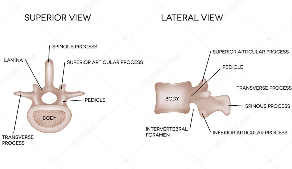 huesos humanos vertebrales con Descripción — Archivo Imágenes ...